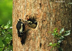 Woodpecker feeding young in Colby Woods, Amroth, Pembrokeshire